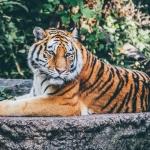 Ratuj Tygrysy…