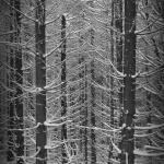 Bieszczady, drzewa